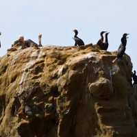 Bonds - Birds on a rock in Laguna Beach | Blurbomat.com