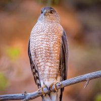 Hawk - Zion National Park | Blurbomat.com