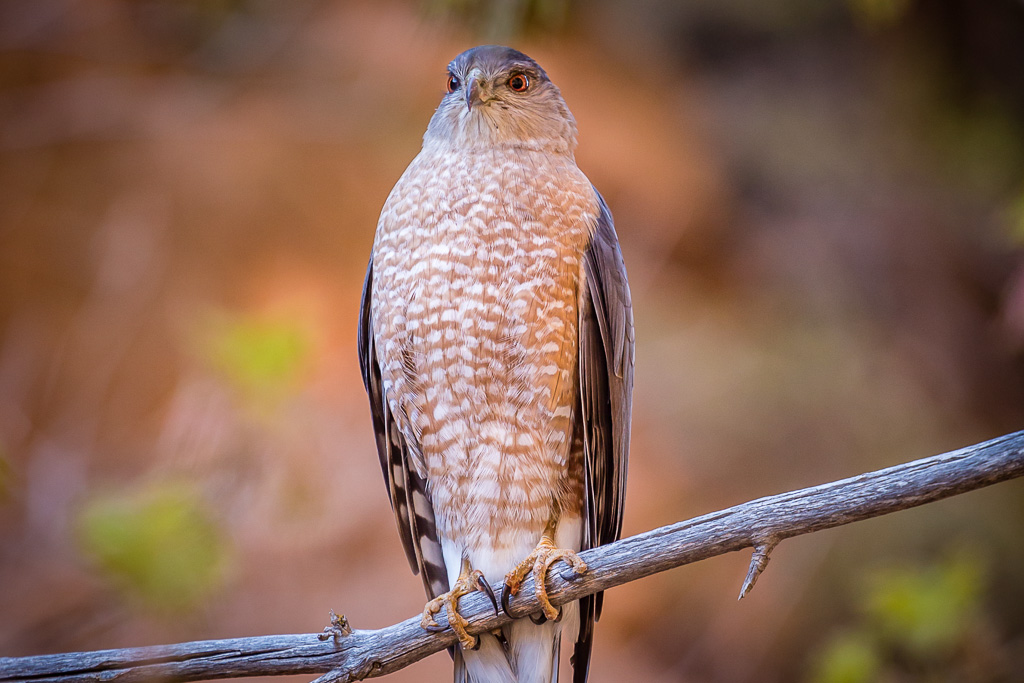 Hawk – Zion National Park