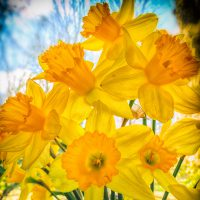 Daffodils in the Window | Blurbomat.com