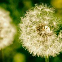Macro Dandelion | Blurbomat.com