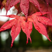Red Rain by Jon Armstrong for Blurbomat.com - image of a red leaf with rain drops on it.