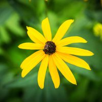 Black Eyed Susan | Blurbomat.com