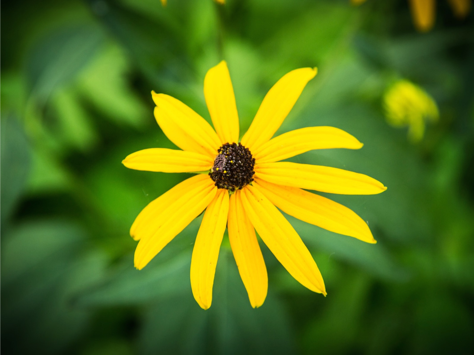 Black Eyed Susan You Make Us Nervous