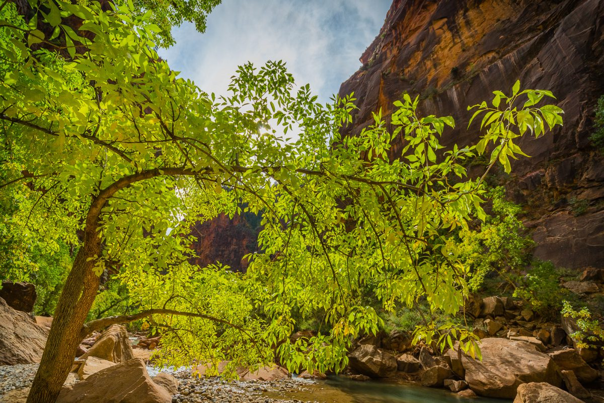 Autumnal Tree along the Virgin River in Zion National Park
