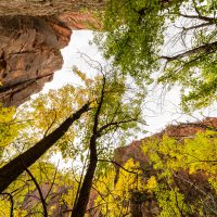 Looking up through autumnal trees in Zion National Park | Blurbomat.com