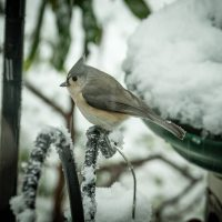 Tufted Titmouse | Blurbomat.com