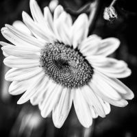 Perfection is a Myth | Black and white macro of a flower, | Blurbomat.com