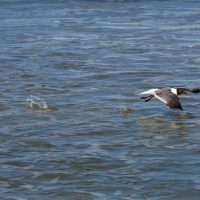 Laughing Gull about to take flight after a couple of pushes with its feet.