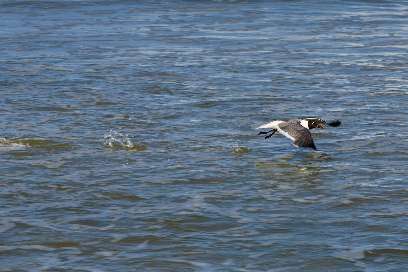 Laughing Gull About to Take Flight