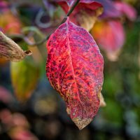Splotchy red leaf in autumn   Blurbomat.com
