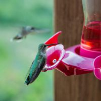 A hummingbird sits on a feeder while sticking its tongue out   Blurbomat.com